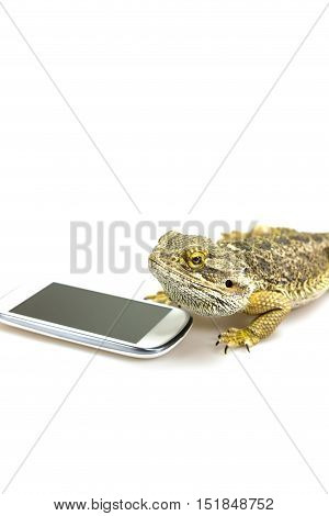 Agama lizard is lying on the white background with empty display of the lying smart phone. All potential trademarks are removed. Vertically.