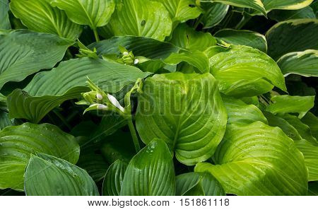 The leaves and flowers of Hosta in summer