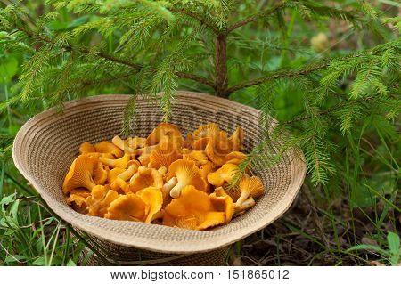 Mushroom Chanterelle. Edible Mushroom Chanterelle On Wicker Hat Under Small Fir Outdoor. Top View. Mushroom Chanterelle In Forest.