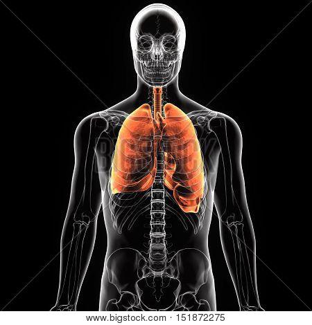 3Dillustration medical illustration of the human lung