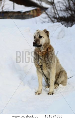 Nature, animal, beast, dog, alabay, Canis lupus familiaris, domestic animal, fauna