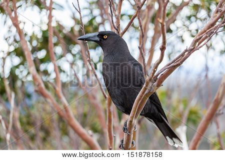 Black Currawong Portrait - Native Tasmanian Bird. Cradle Mountain National Park, Tasmania