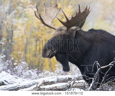 Young bull moose portrait with cottonwood trees