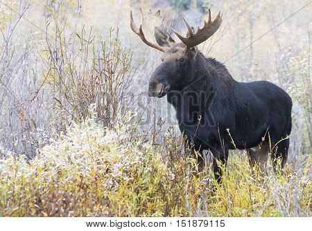 Young bull moose in willows on a foggy morning looking for love