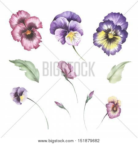 Set of flowers pansies. Hand draw watercolor illustration.
