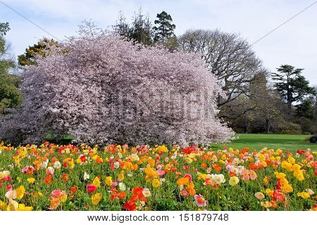 Colorful Display of Cherry Blossoms and Poppies.  Christchurch Botanic Gardens, Canterbury, New Zealand