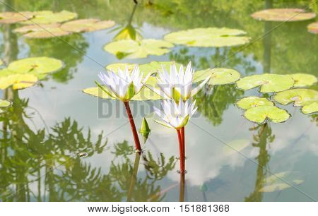 beautiful water lily or lotus flower in pond
