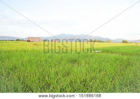 field rice field or paddy field in blur background
