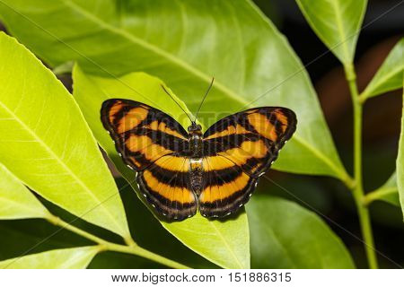 Colour segeant butterfly ( Athyma nefte ) resting on green leaf