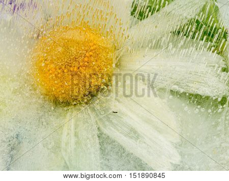 beautiful delicate fragile ice abstraction with organic chamomile flower frozen in clean clear water and a lot of air bubbles in the ice
