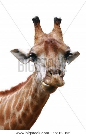 Giraffe Head Shot Isolated Background
