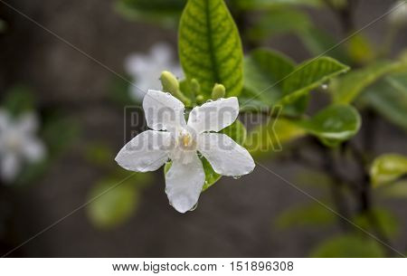 White tropical flower under the rain. Tropical plant bloom macro photo. Green leaf and white flower with water drops closeup. Fresh natural image for  card or banner template