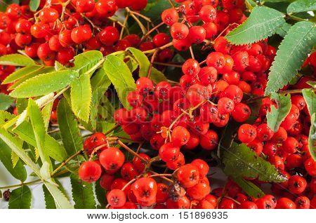 organic red rowan bunch with green leaves