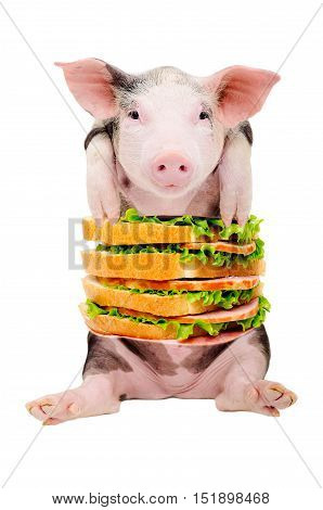 Portrait of a pig with a sandwich instead of the torso sitting isolated on white background