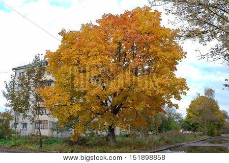 maple tree with yellow leaves. horizontal photo.