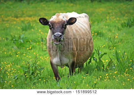Cow standing grazing in a grassy field