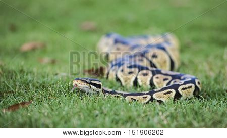 Interesting fact: Two factors determine sexual maturity and the ability to breed in Ball Pythons: age and weight. They reach sexual maturity at about 20 to 36 months. Females will breed in the wild at weights as low as 800 to 1200 Grams. Ball Pyhtons usua