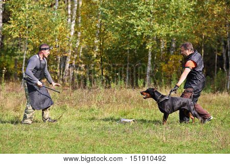 Two men dog trainers teach doberman at green grass near forest
