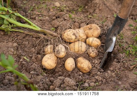 Harvesting Potatoes. Fresh Potatoes Dig From Ground With Spade. Potato.