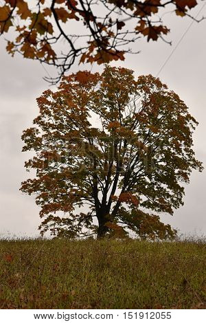 Big maple tree in a meadow in autumn colors. Maple tree.