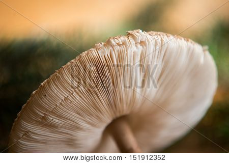 Close Up On Parasol Mushroom (macrolepiota Procera Or Lepiota Procera)