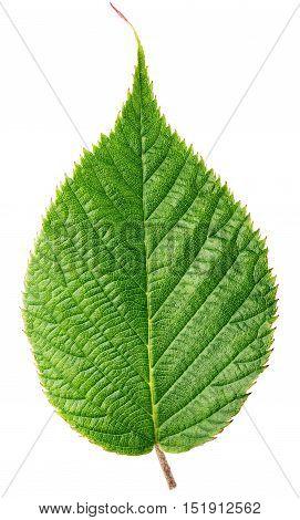 Green Raspberry Leaf Isolated On White