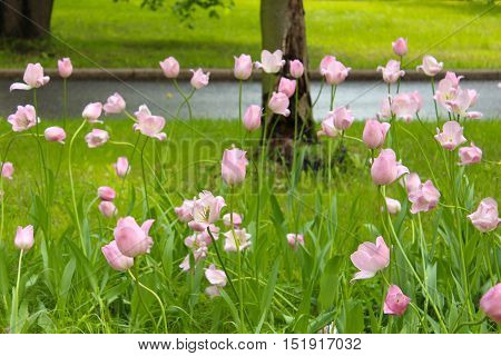 Pink tulips, the Sparrow Hills in Moscow