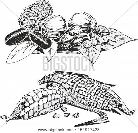 Set of two black and white sketches of vegetables in still life style - corns cabbages and aubergines