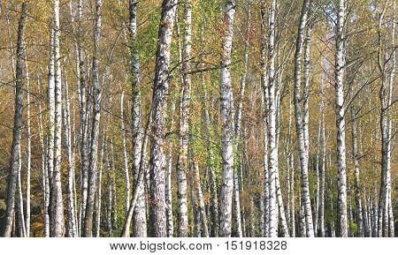 Autumn birch grove in cloudy weather/beautiful landscape