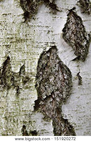 Texture of birch tree. Background. Texture Birch.