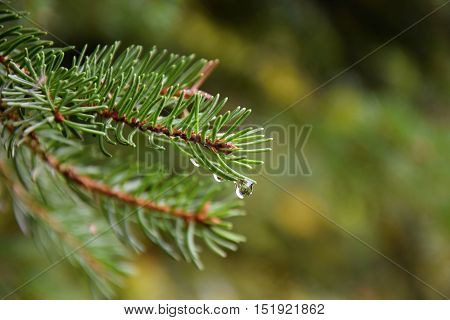 Water drops on green spruce branch. Spruce.