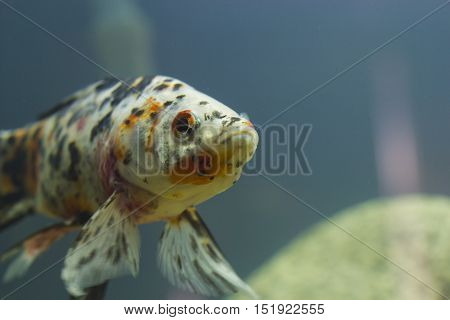 Small fishes in an aquarium swim in search of food