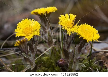 a coltsfoot a  spring flower in full bloom