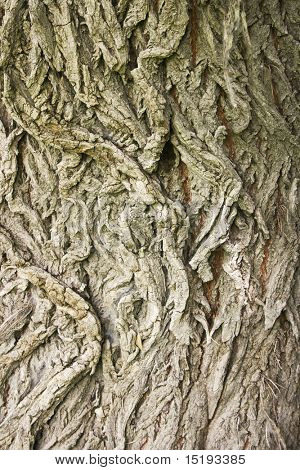 beautifully willow tree bark for background