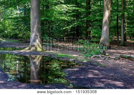 Dark forest with a large tree reflected in a puddle.