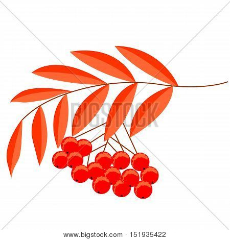 Detailed drawing of rowan or rowanberry. Berries and rowan berries with leaves, hand drawn in rustic design, classic drawing element of wild ash, pit or rowan-tree. Isolated, in color.