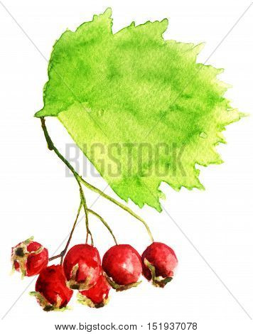 watercolor sketch of Hawthorn on white background