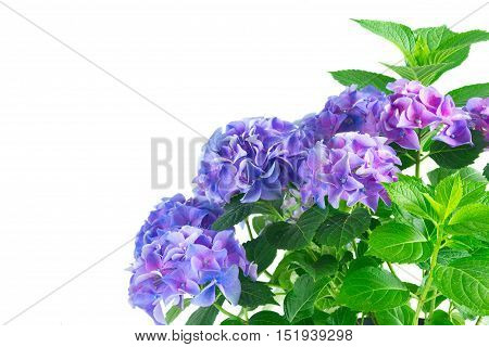 blue and violet fresh hortensia fresh blooming flowers isolated on white background