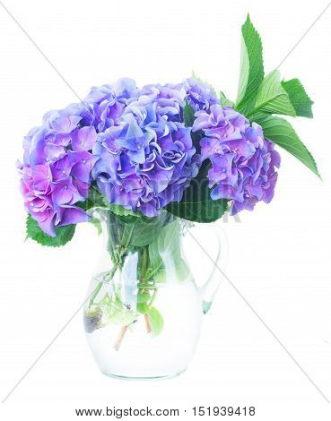 blue and violet hortensia fresh flowersand green leaves in glass vase isolated on white background
