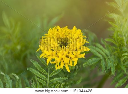 beautiful yellow Marigold/Calendula flowers texture/background. golden color blooming.