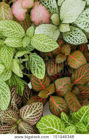 Mix of fittonia plants