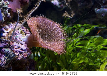 Underwater Colored Actinia In Aquarium