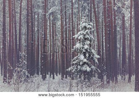 Lonely spruce in snowy coniferous forest. Winter season. Outdoor shot.