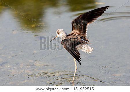 Black-winged Stilt in a water park in Bahrain