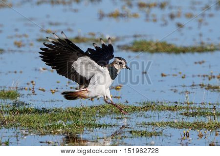 Northern lapwing (Vanellus vanellus) in flight with vegetation and water in the background