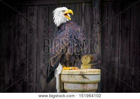 Amazing eagle - the national symbol of USA.