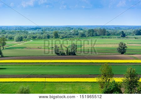Spring landscape with yellow oilseed plants stripes near Kazimierz in Poland