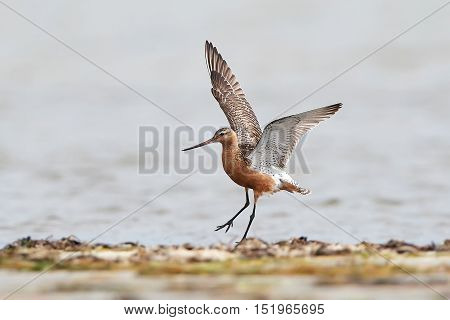 Bar-tailed godwit (Limosa lapponica) with open wings in its natural habitat