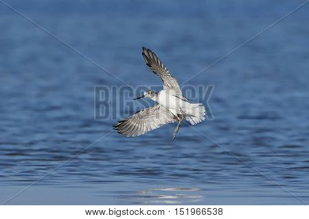 Common greenshank (Tringa nebularia) in flight with blue water in the background