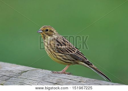 Yellowhammer (Emberiza citrinella) resting with vegetation in the background